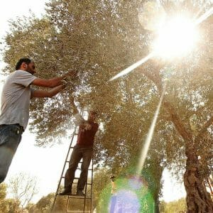 Picking olives with sunlight shining